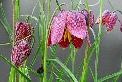 Fritillaria (1)
